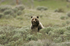 The grizzly population of Yellowstone National Park was removed from the Endangered Species List in 2007 as federal officials decided the bears' numbers had rebounded sufficiently. But two years later a judge in federal district court in Montana overturned the delisting, citing concerns about how global warming-related declines in Whitebark Pine (a key food source for grizzlies) were affecting the bears. Credit: Jim Peaco, National Park Service, Flickr CC.